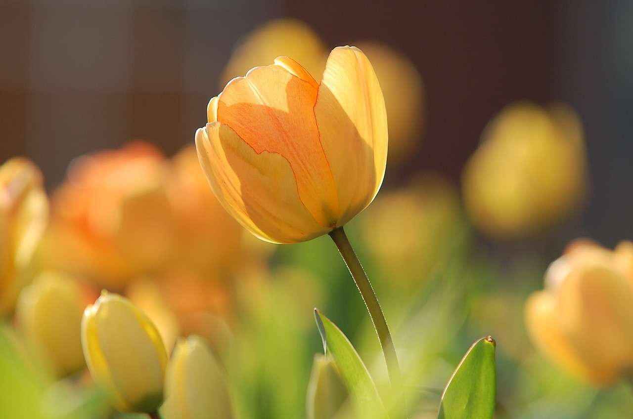 Shelly Joshua - Blog - Yellow Tulip