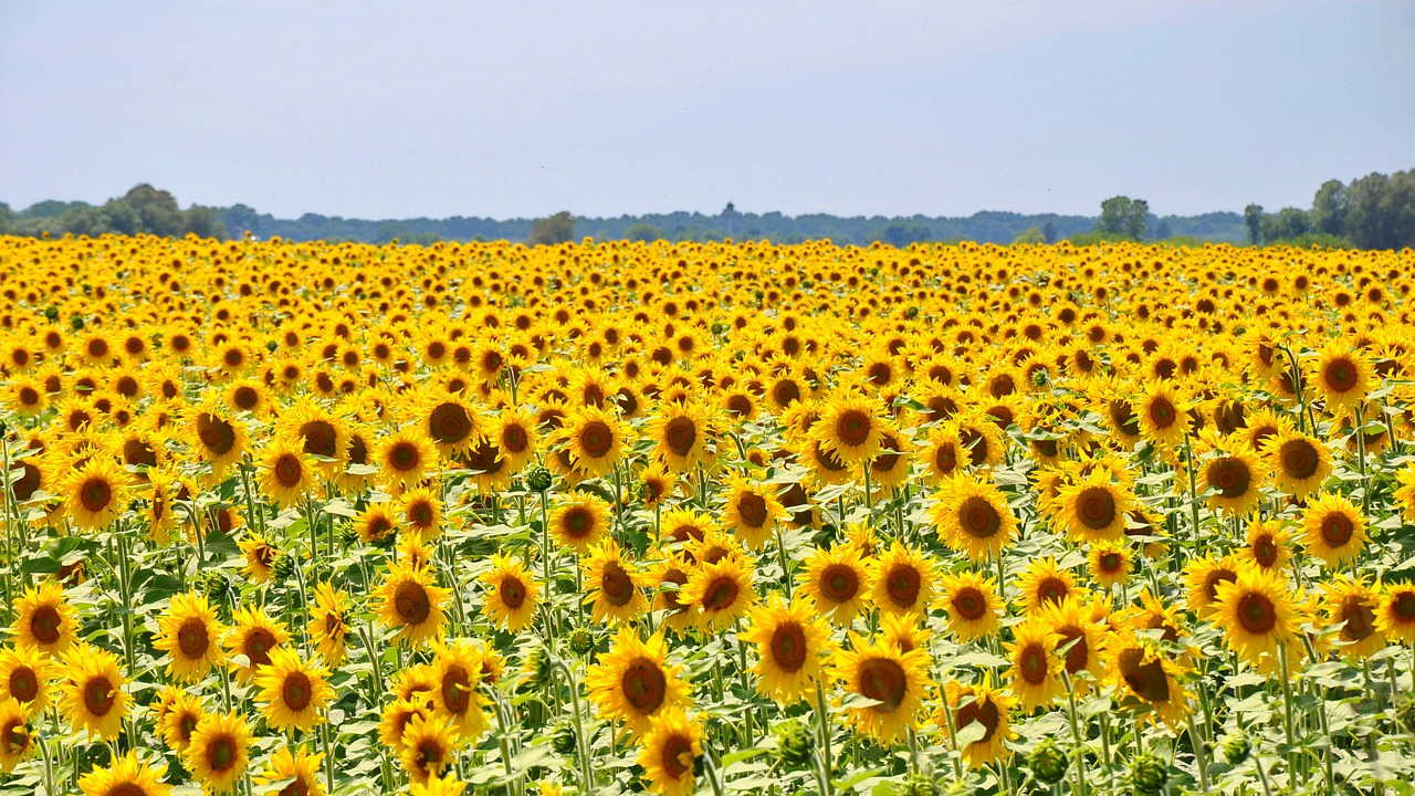 Shelly Joshua - Blog - Sunflower Field
