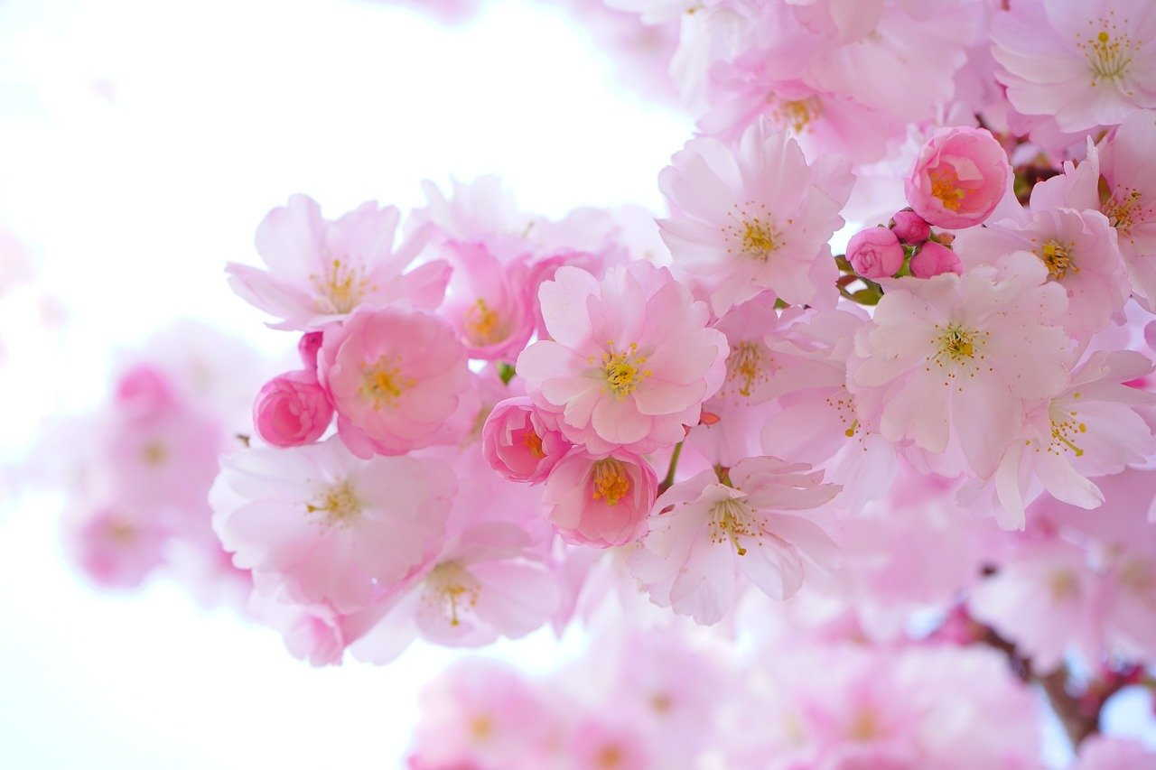Shelly Joshua - Blog - Japanese Cherry